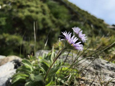 ハヤチネウスユキソウが見たい(^◇^)   早池峰山に行ってきました。
